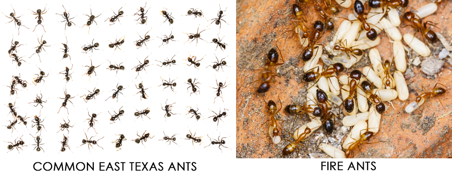 COMMON EAST TEXAS ANTS   Bugbusters Exterminating